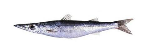 サビキで釣れる魚 ヤマトカマス(ミズカマス)の写真