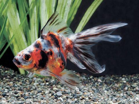 金魚の種類 キャリコリュウキン