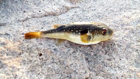 ジグサビキ 釣れる魚 フグの画像