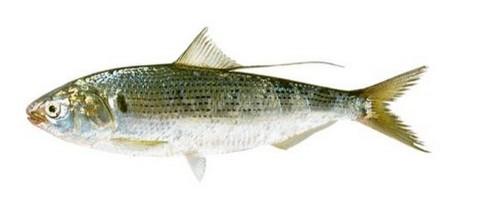 サビキで釣れる魚 コノシロの写真