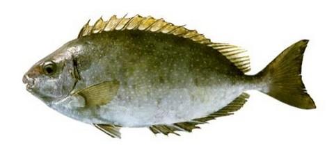 サビキで釣れる魚 アイゴの写真