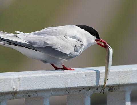 キビナゴをくわえる鳥