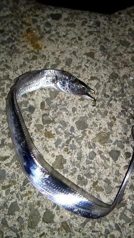 小さい太刀魚(タチウオ)の画像