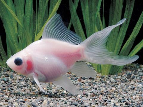 金魚の種類 フクブクロ(玉サバ透明鱗)