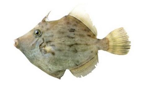 サビキで釣れる魚 カワハギの写真