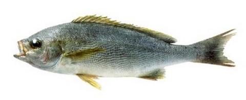 サビキで釣れる魚 イサキの写真