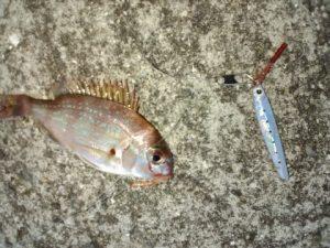 ジグサビで釣ったチャリコ(鯛の子)