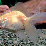 金魚の種類 アルビノリュウキン