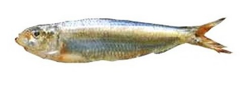 サビキで釣れる魚 サッパの写真
