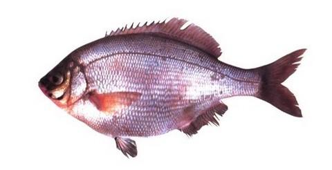 サビキで釣れる魚 ウミタナゴの写真