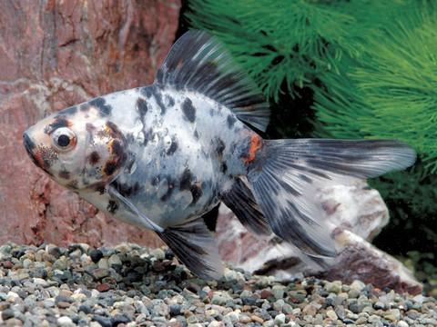 金魚の種類 藍キャリコリュウキン