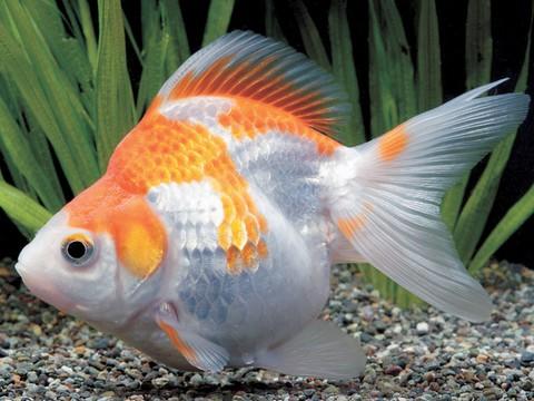 金魚の種類 更紗リュウキンショートテール