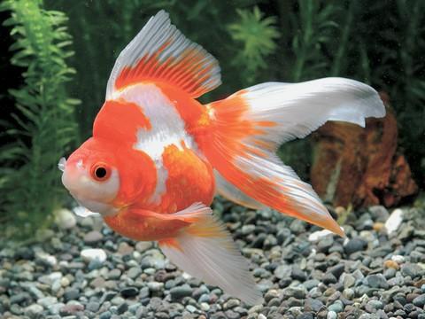 金魚の種類 更紗リュウキン