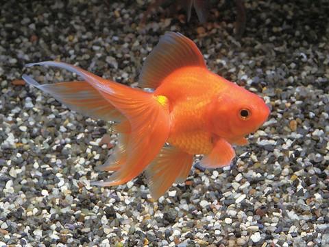 金魚の種類 素赤リュウキン