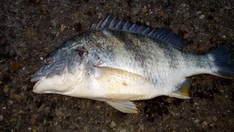 ジグサビキ 釣れる魚 キビレの画像