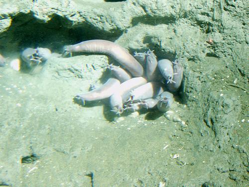 タヌウナギの画像