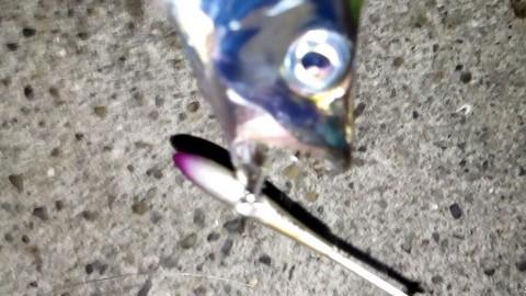 アイアンプレートで釣った太刀魚