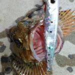 ジグサビキ堤防の釣り方 餌なしで大漁の秘密とは