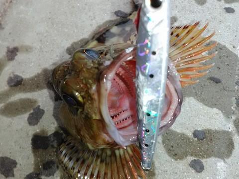底にジグサビキを落とし込み釣ったカサゴ