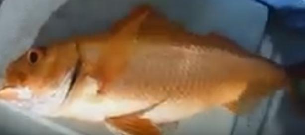 キビレアカレンコの画像