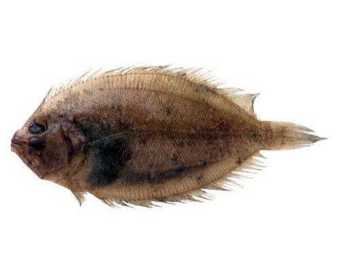 タマガンゾウビラメの画像