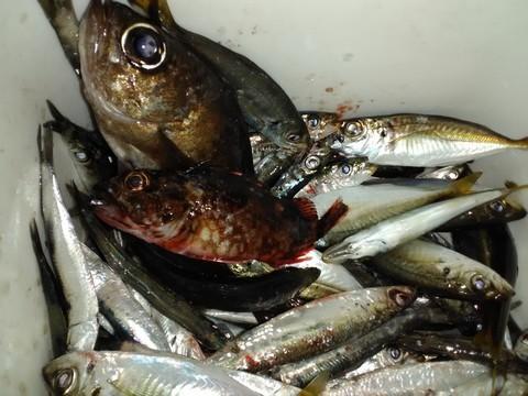 ジグサビキで大漁の釣果
