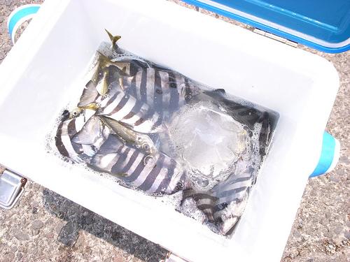氷締めされた魚の画像
