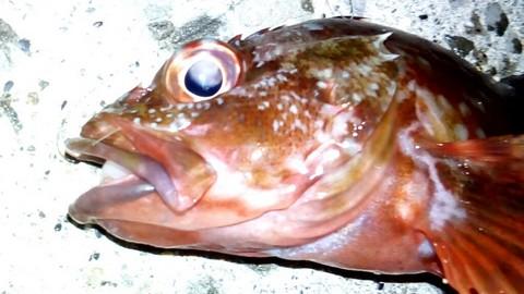 和歌山での釣り  イカの切り身で釣れた カサゴ(ガシラ)の画像