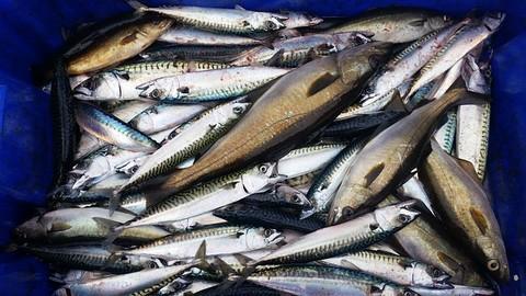 イカの切り身(イカ短)で釣れる魚 サバの画像