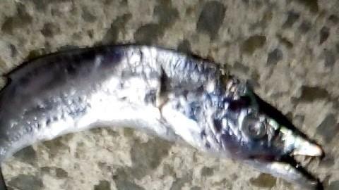 アジの泳がせ釣り 7つのコツ サルネイム