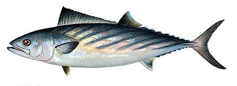 サバに似た釣り魚 ハガツオの画像