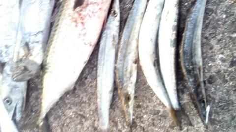 食用魚の種類 カマス