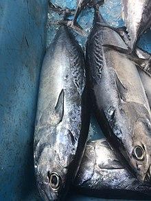 サバに似た釣り魚 ソウダガツオの画像
