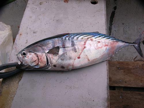 サバに似た釣り魚 スマの画像
