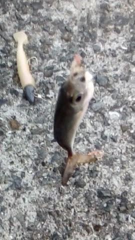 食用魚の種類 アジ