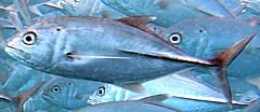 ライトショアジギング(メタルジグ)で釣れる魚 メッキの画像