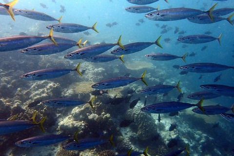 サバに似た釣り魚 クサヤモロの画像