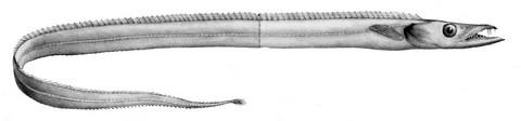 太刀魚似た魚の種類 タチモドキの画像