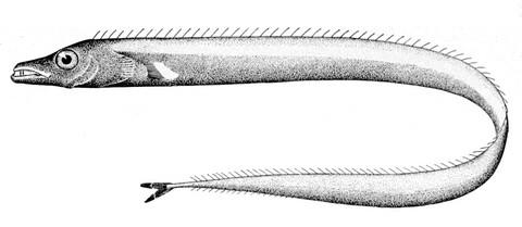 太刀魚似た魚の種類 オビレタチの画像
