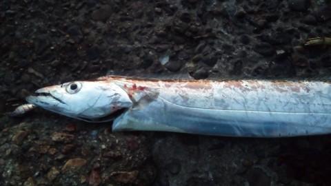 コアマン・パワーブレードで釣った太刀魚指6本の画像