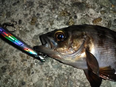 夜釣り レイジースリムで釣ったメバル