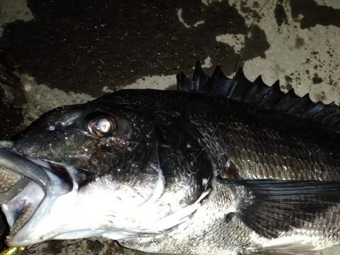 夜釣り 釣れる魚 クロダイ(チヌ)の画像