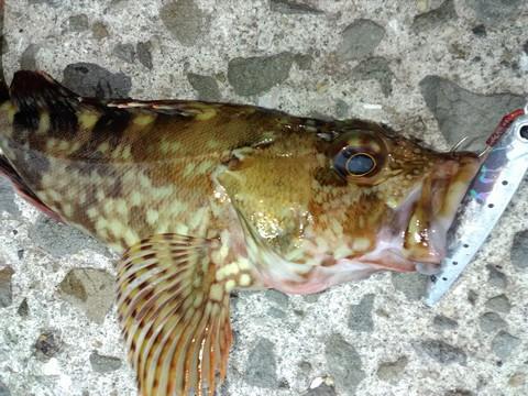 穴釣りで釣れる魚 カサゴ 昼