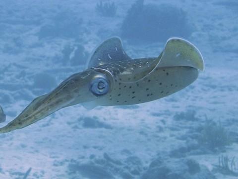 イカの水中画像