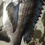 夜のぶっこみ釣り 以外に大物も釣れる