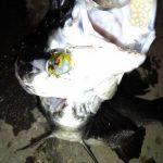チヌという魚 料理に関する味と旬 捌く時は面倒