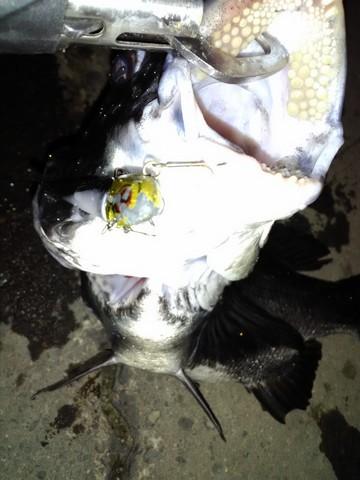 クロダイ(チヌ)の歯