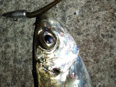 アジング ジグ単+ガルプで釣ったアジ