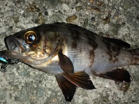 根魚(ロックフィッシュ)の種類 プラグで釣れたメバルの画像
