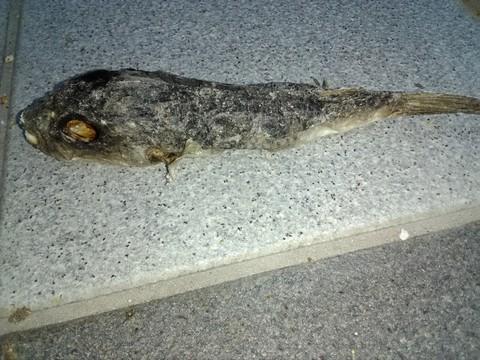 フグの死骸